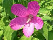 Common rose mallow (Hibiscus moscheutos)