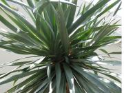 Dracaena draco (Dragon tree)