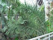 Foxtail palm (Wodyetia bifurcata) 