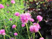 Globe Amaranth