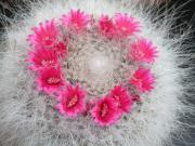 Mammillaria hahniana (Old woman cactus)