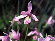 Rose pogonia