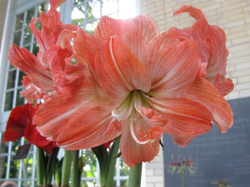 Hippeastrum &#039;Lady Jane&#039;