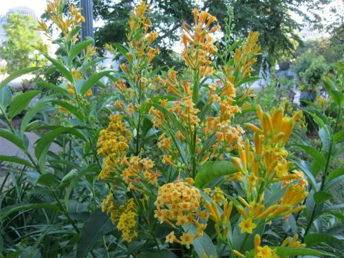 Orange Peel Cestrum | United States Botanic Garden