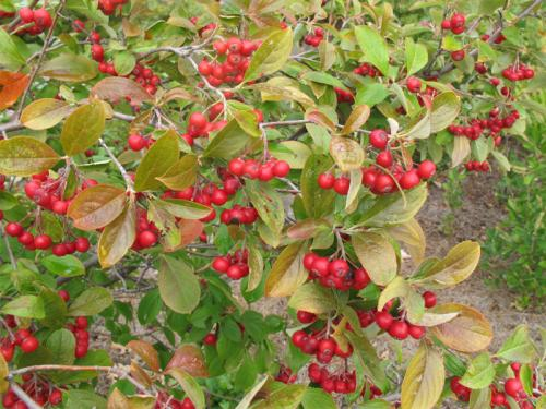 Red chokeberry