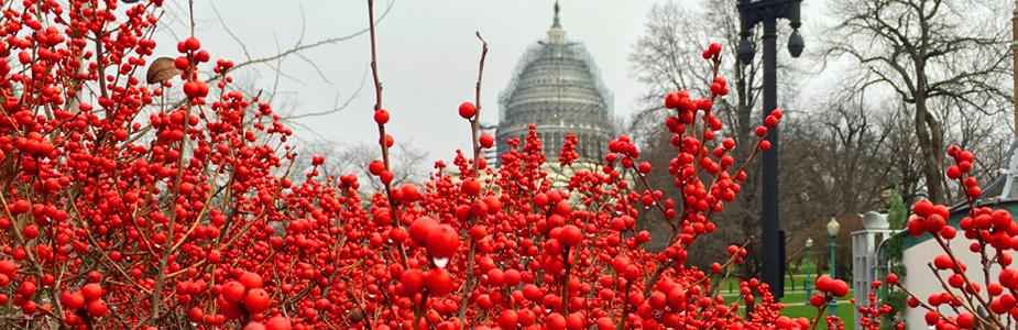 Winterberries (Ilex verticillata) and U.S. Capitol dome