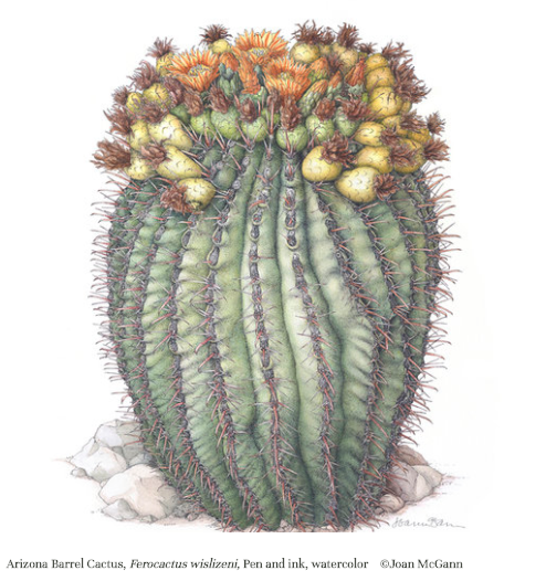golden barrel cactus illustration by Joan McGann